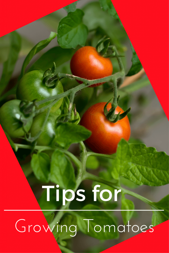 Tomato Tips Tips For Growing Tomatoes Growing Tomatoes Growing Tomatoes In Containers