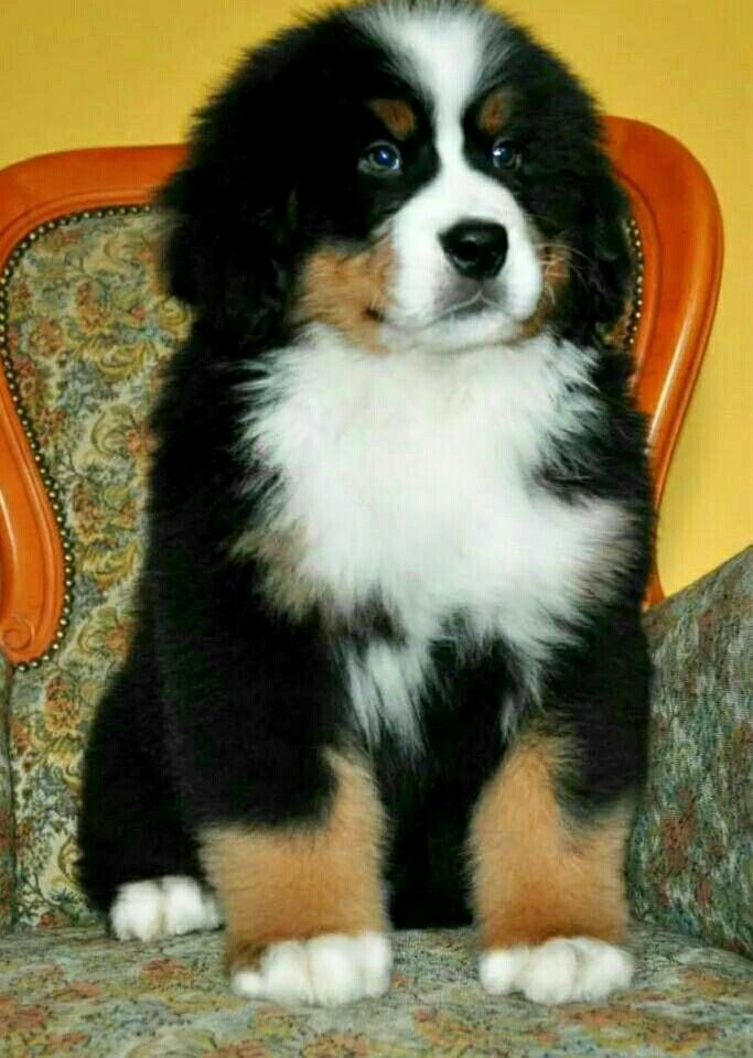 Great Bernese Mountain Dog Chubby Adorable Dog - 8440cbac63c9d8bdbb08e9559bfe242c  Perfect Image Reference_972347  .jpg