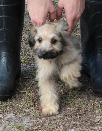Meet Bucky 13993, a Petfinder adoptable Poodle Dog | Middleburg, FL | Petfinder.com is the world's largest database of adoptable pets and pet care information....
