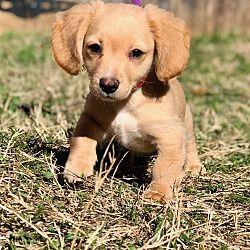 Goldenretrieverpuppiesjacksonville Puppy Golden Retriever
