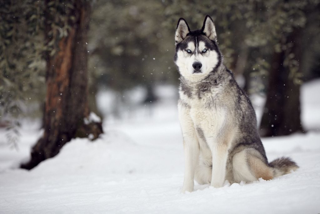 Siberian Husky In The Tuscan Snow Siberian Husky Dog Husky