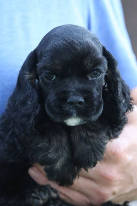 Kingdom Cockers Cocker Spaniel Puppy Cocker Spaniel Puppies Cute Dogs Baby Animals