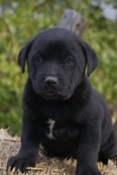 Blakely Is An Adoptable Black Labrador Retriever Dog In Pearl