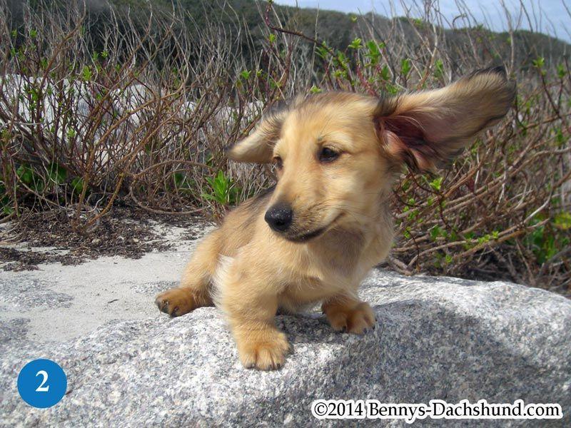 Kennel Free Dachshunds Puppies From Wilmington Nc Cream Dachshund Retriever Puppy English Cream Dachshund