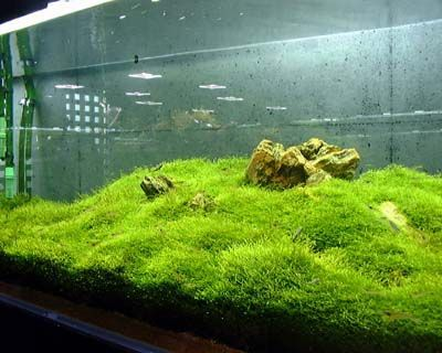 Java Moss Carpeting The Bottom Of The Aquarium Freshwater Aquarium Plants Aquarium Freshwater Plants