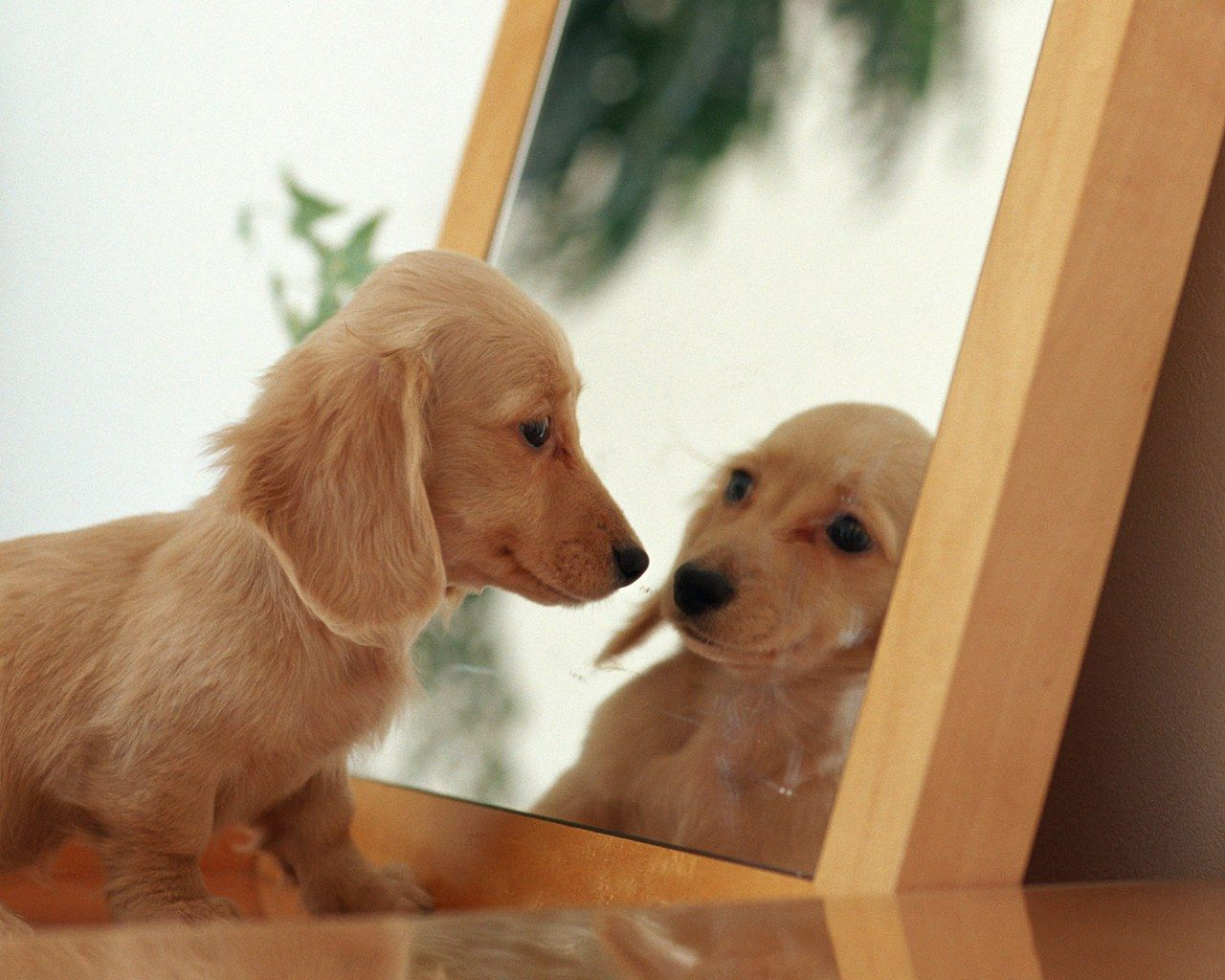 Mirror Reflection | AM THE FAIREST !, Dachshund, Lovely, mirror, Puppy, reflection