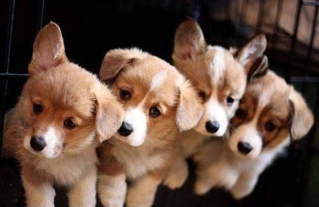 Gorgeous Group Of Corgi Puppies Cute Animals Puppy Dog Photos