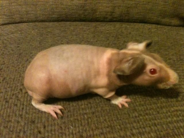 Pin On Guinea Pigs That Are Cute