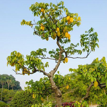 Starfruit Carambola Tree Fast Growing Trees Fruit Bearing Trees Indoor Trees