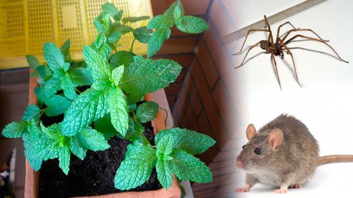 Como Acabar Con Las Ratas En El Jardin Donde Pongas Una Planta De Esta En Tu Casa Jamas Aparecera Una