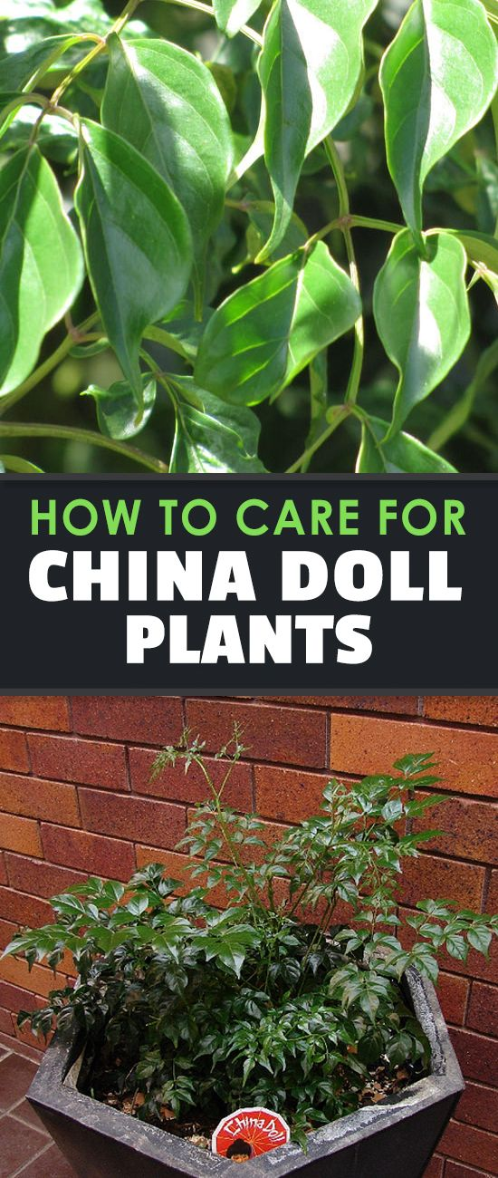 China Doll Plant (Radermachera Sinica) Growing Guide