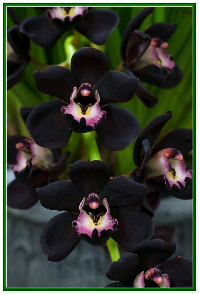 Black Orchid Flower Meaning Orchids Beautiful Orchids Black Flowers