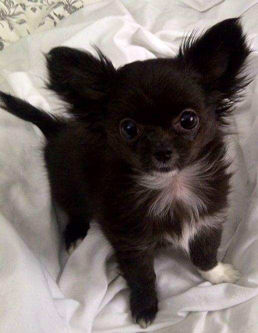 Baby Chihuahua Image Via Www Facebook Com Cutechihuahuafans Chihuahua Welpen Hund Chihuahua Chihuahua Welpen Langhaar