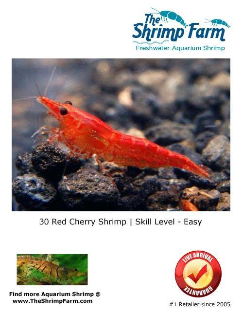 Grade Aa Red Cherry Shrimp Red Cherry Shrimp Freshwater Aquarium Shrimp Cherry Shrimp