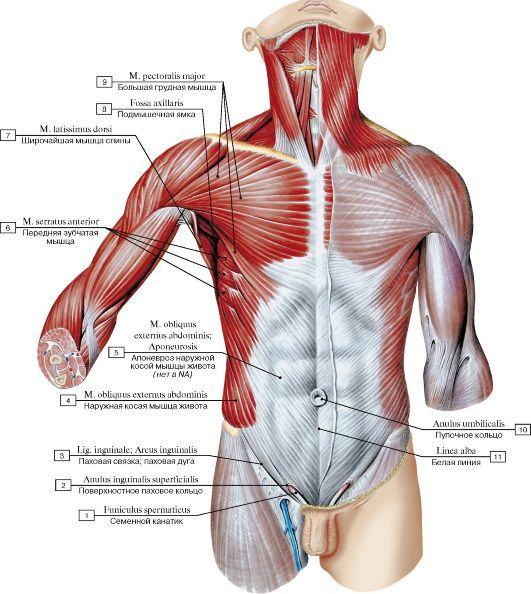 Bonito Bajo Los Músculos Anatomía Back Ideas - Anatomía de Las ...