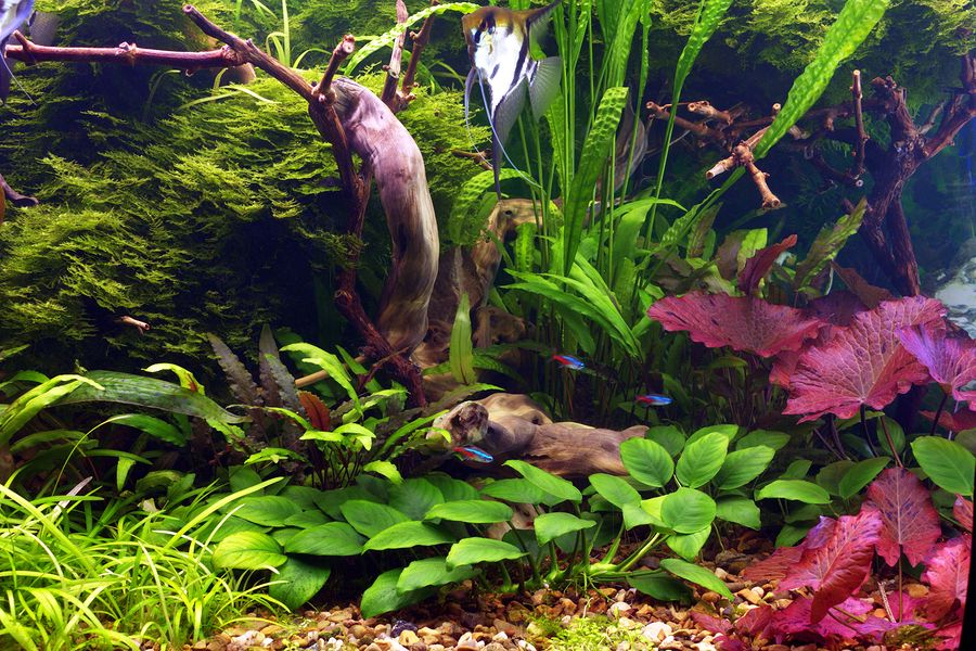 4 Popular Cryptocoryne Species for Your Planted Tank ...