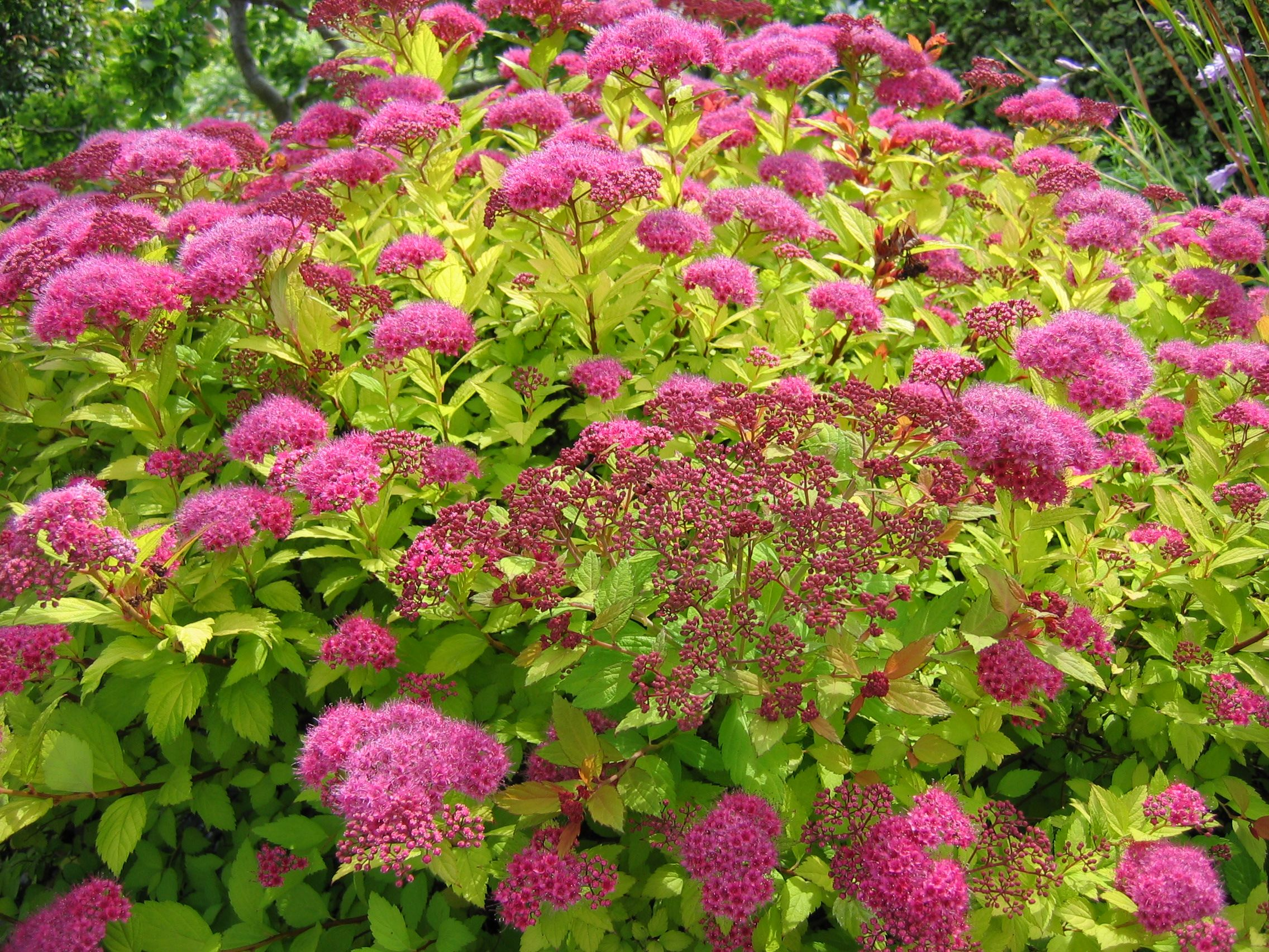 Spiraea Japonica Undemanding Shrub With Pink Flowers In Clusters In