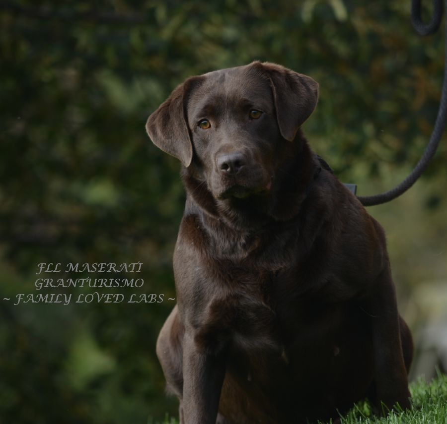 Beautiful English Lab Gorgeous English Chocolate Labrador