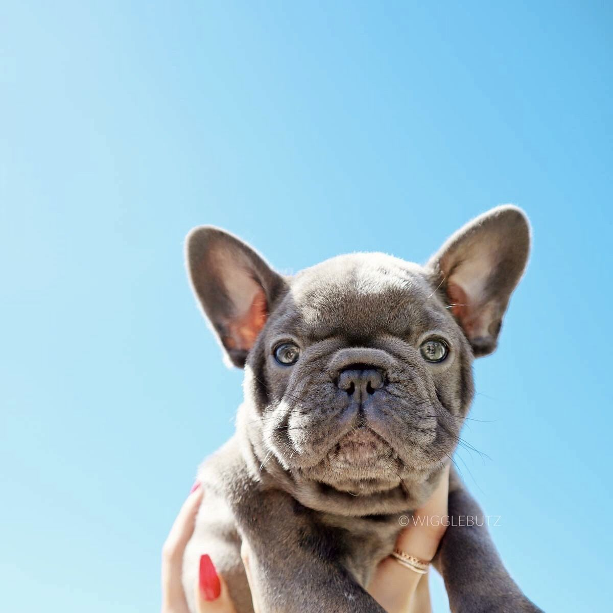 Bubbles Blue French Bulldog Puppy In 2020 French Bulldog Breeders French Bulldog Puppies French Bulldog Blue