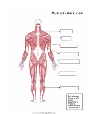Using the word bank, label the back muscles in this free ...