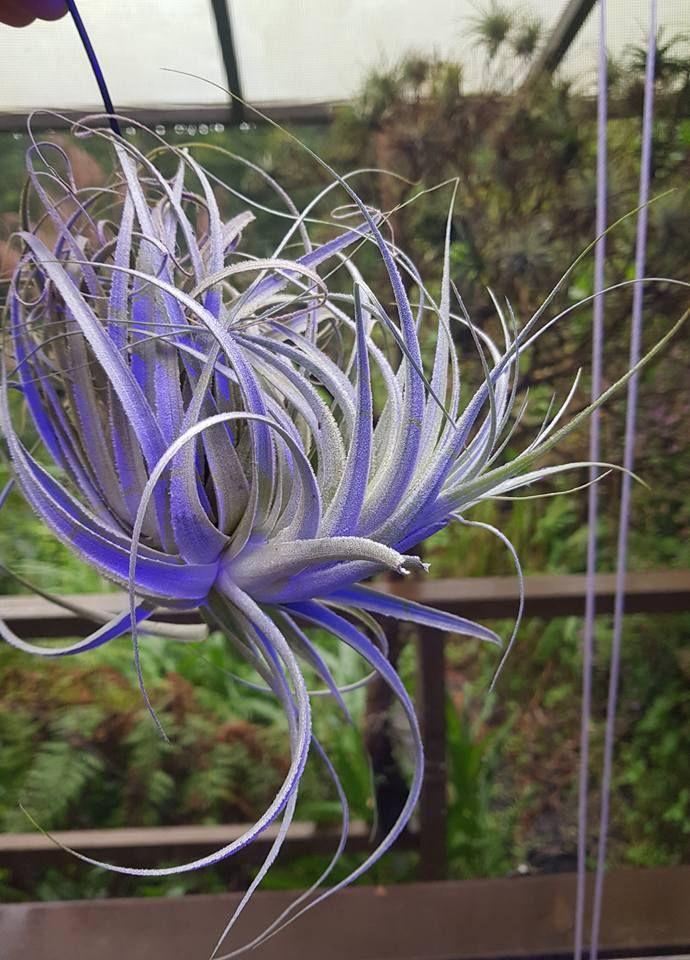 Tillandsia gardneri Lindley Air plant garden, Tillandsia