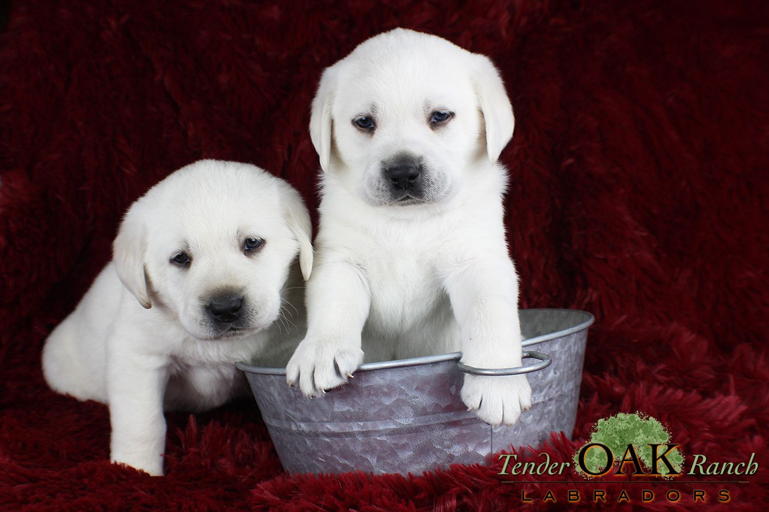 Labrador Puppies For Sale In San Diego Labrador Puppy Labrador