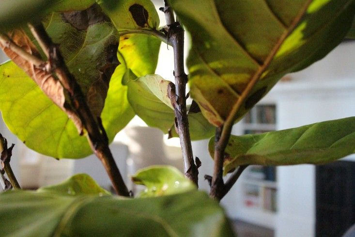7 secrets how to save a dying fiddle leaf fig tree by michelle slatalla - Fiddle Leaf Fig Tree Care