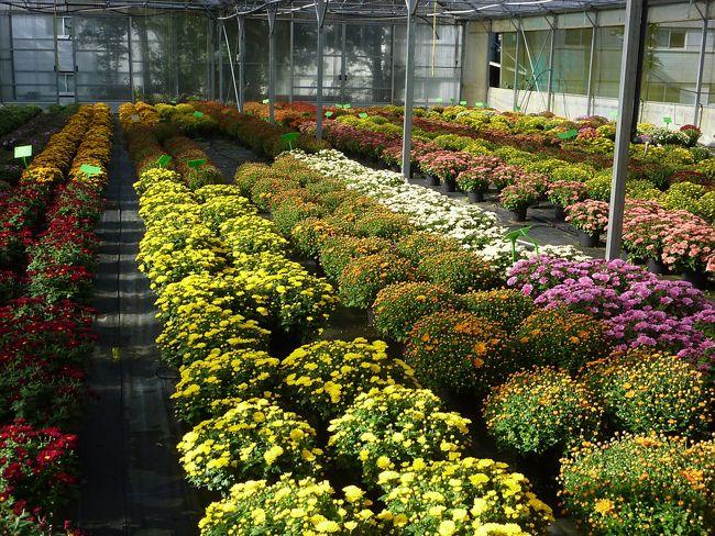 Les chrysanthèmes, fleurs de Toussaint Chrysanthème
