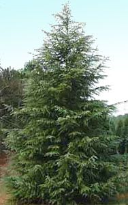 The Deodar Cedar Christmas tree has great branches for decorating ...