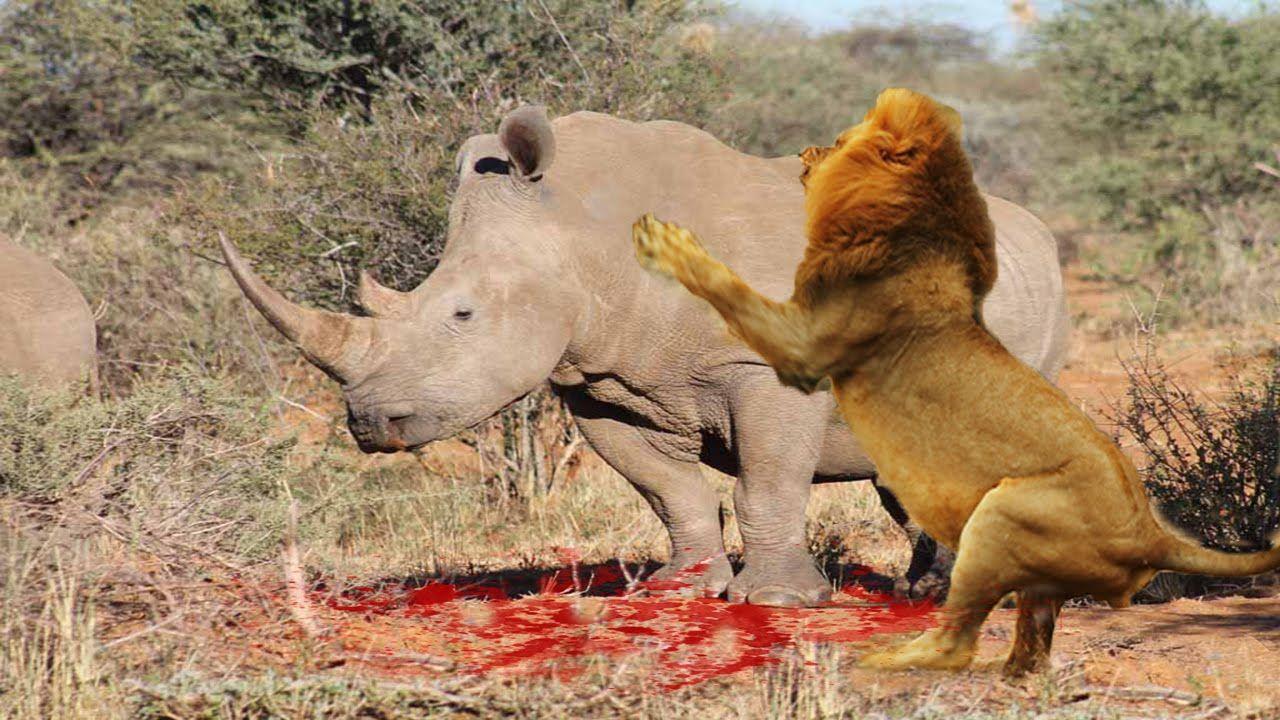 Rhino vs Lion Fight Most Amazing Wild Animal Attacks