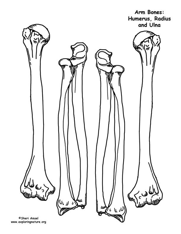 skeleton arm bone printables - Halloween Skeleton Template