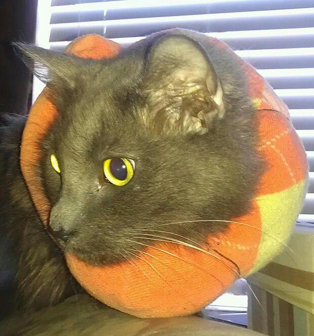 844acdcd432d53e3c0cfdc81b3c275c7 - How To Get My Cat To Wear A Collar