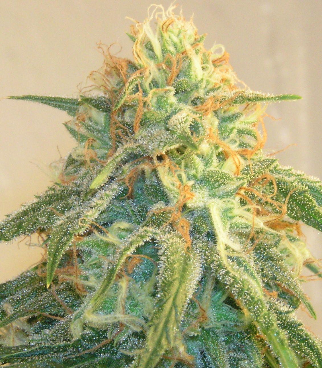 Hemp   Wikipedia BoveyBlog   WordPress com The Science of Sativa Cannabis Strains