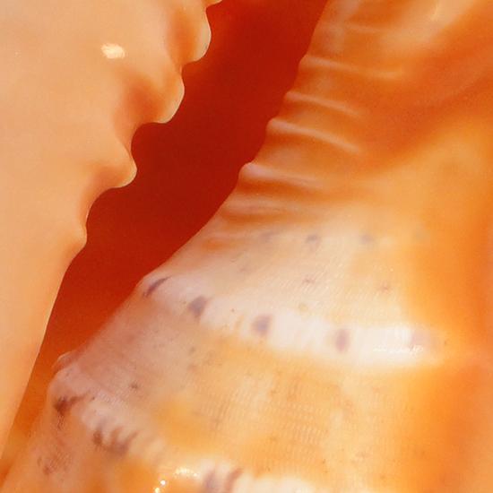 Helmet Shell - Cassis cornuta - closeup