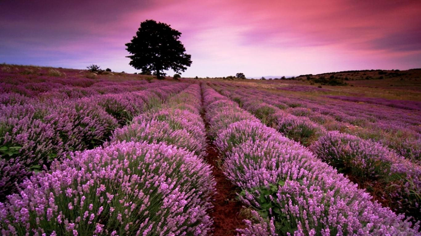 Lavender Fields In France Field Wallpaper Download