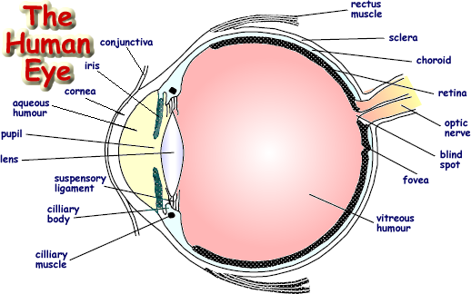 diagram of parts of the eye the human eye | human body | physics revision, gcse ...