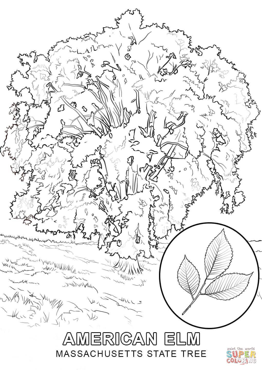 Massachusetts State Tree Coloring Page Free Printable Coloring