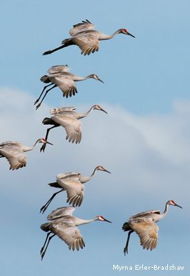 Sandhill Crane National Wildlife Federation >> Arriving Now A Half Million Sandhill Cranes Stop At Nebraska S