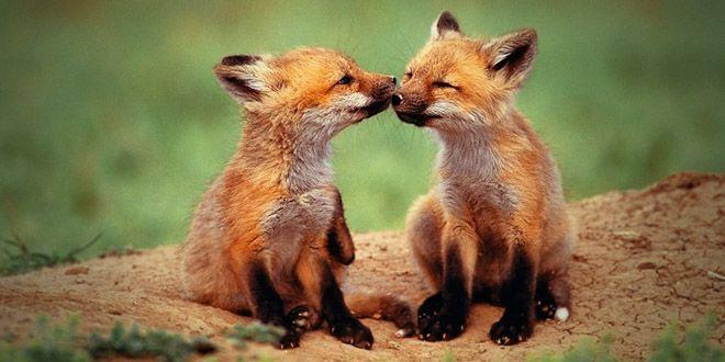 B b renard animaux pinterest renard mignon et les - Renard mignon ...