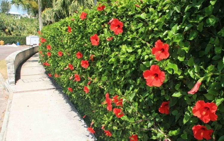 Haie fleurie et persistante- quels arbustes pour haies ...
