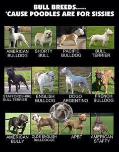 Bully Breeds Chart Google Search Bully Breeds Dogs Bully Dog