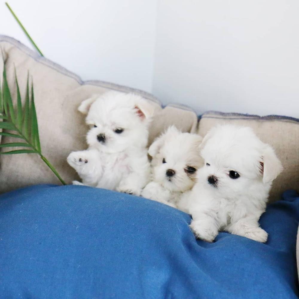 Maltese Puppies For Sale Dogsandpuppiesmaltese Maltese