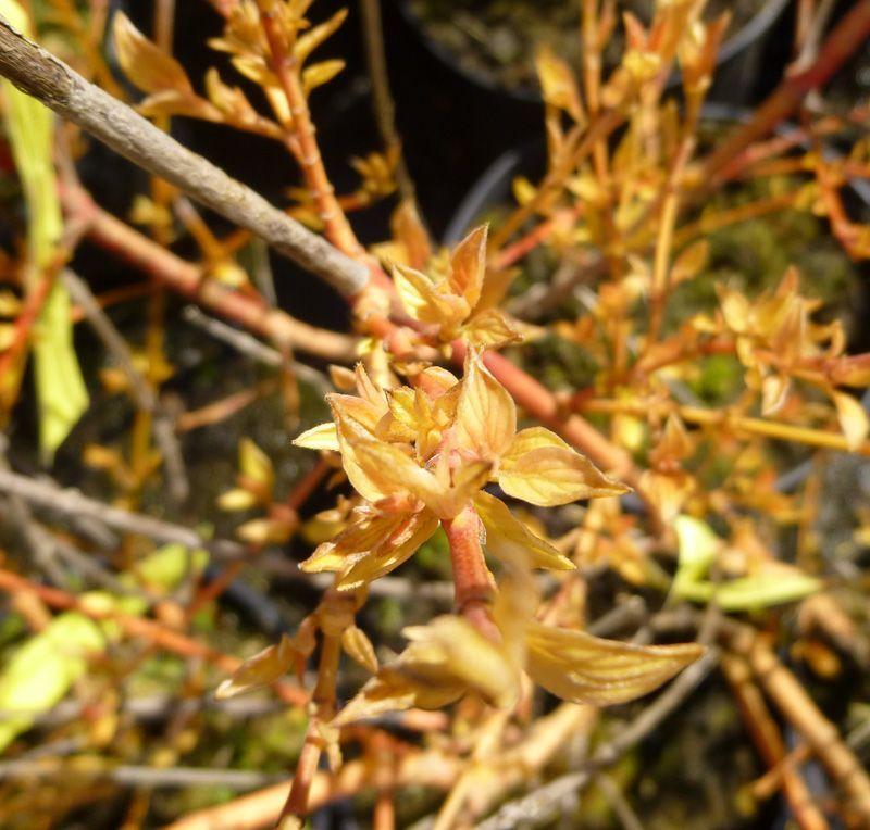 Cornus Sanguinea Midwinter Fire Dogwood Online From Jacksons Nurseries