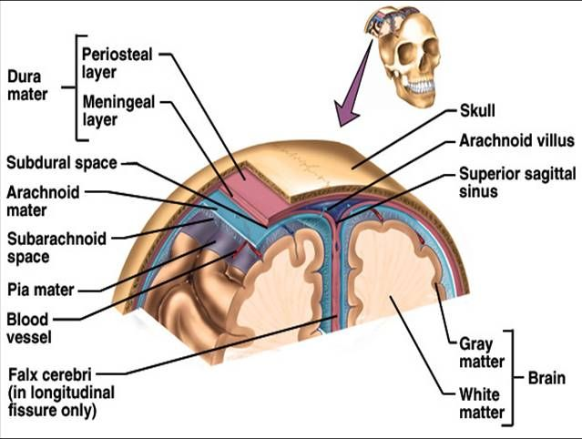Layers Of Brain Tissue The Central Nervous System Nursing
