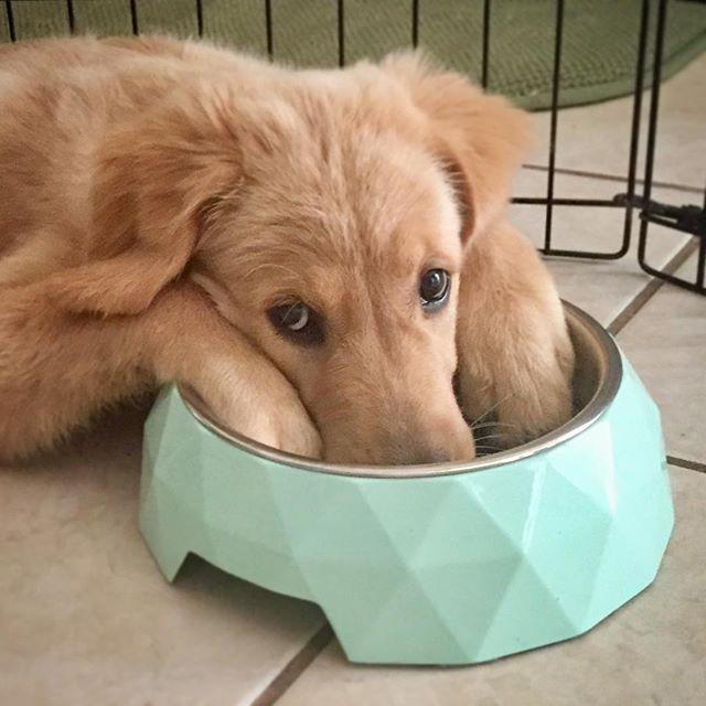 Golden Retriever My Food Bowl Is Empty Dogs Puppies