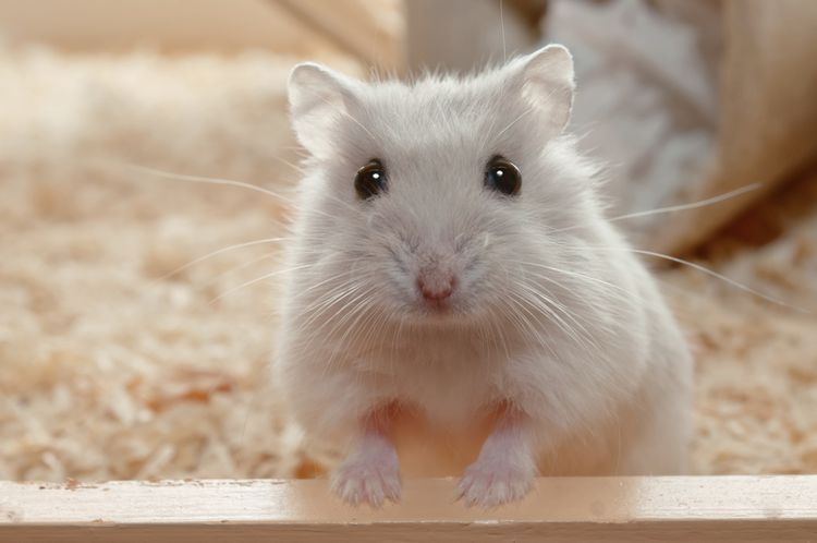 Find The Perfect Name For Your Hamster Hamsters As Pets Cute