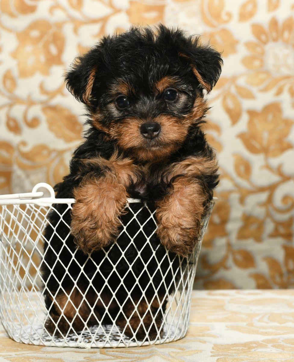 Jolly Morkie Morkie Puppies