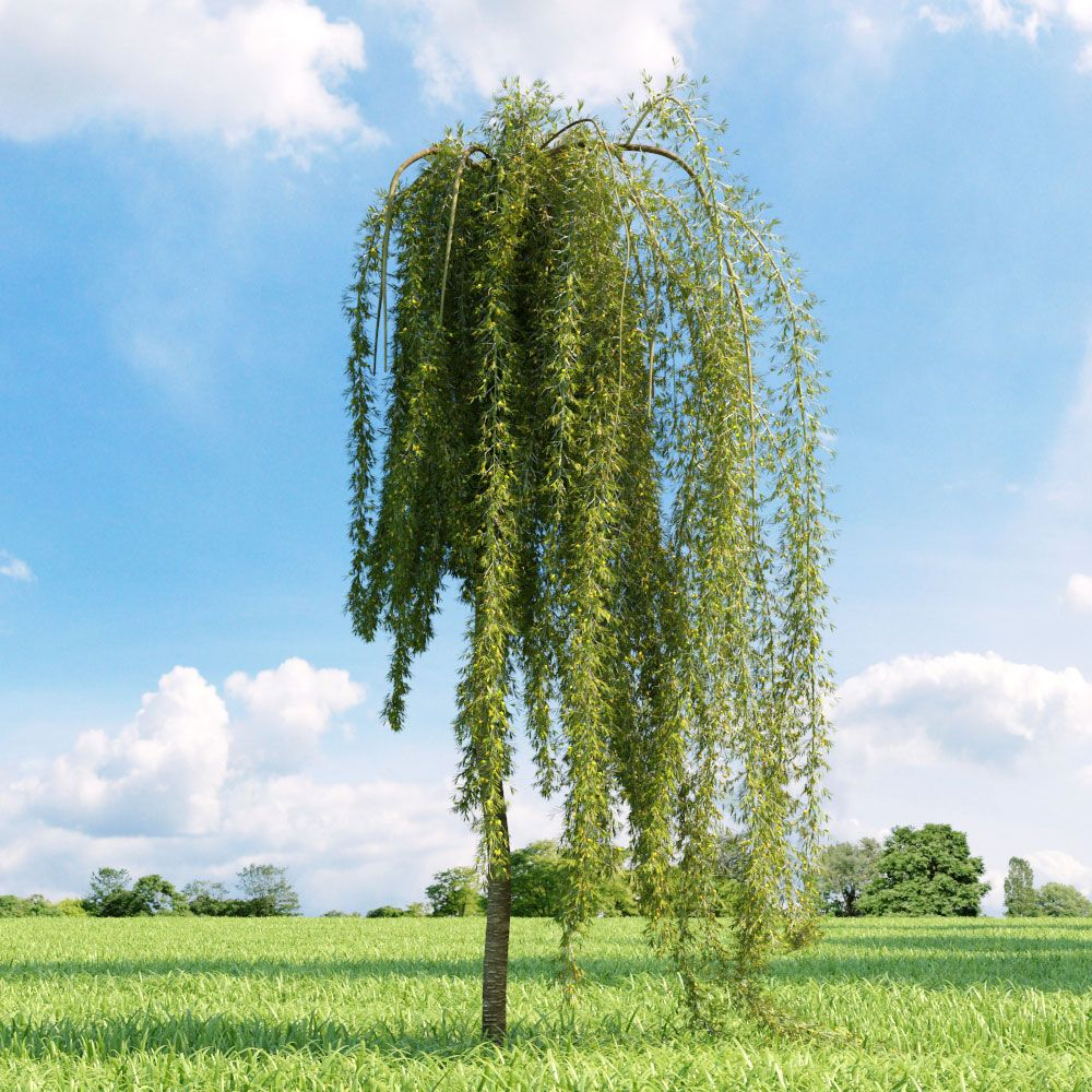 Weeping peashrub caragana arborescens 39 pendula 39 trees for Weeping trees for small gardens