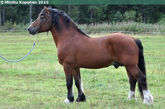Estonian Draught - stallion Vadis
