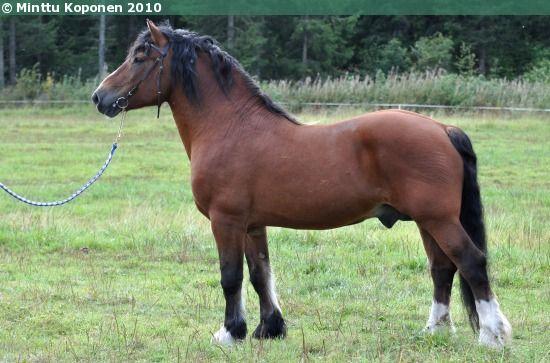 Estonian Draught - stallion Vadis